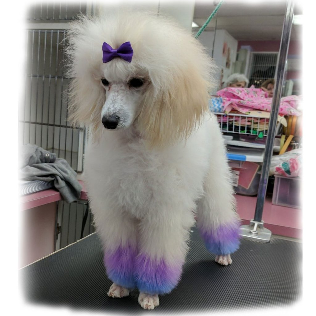Poodle grooming the foxy hound los gatos datejanuary 23 2018 winobraniefo Image collections
